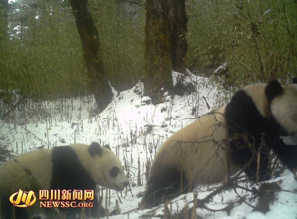 """大熊猫""""泸欣""""在野外带崽。"""