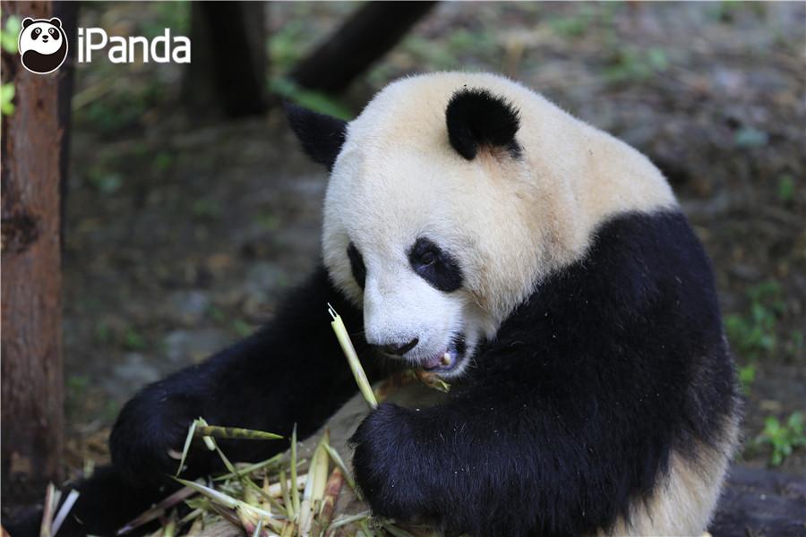 """大熊猫""""和兴"""""""