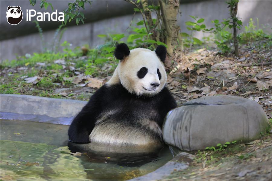 """大熊猫""""毛笋"""""""