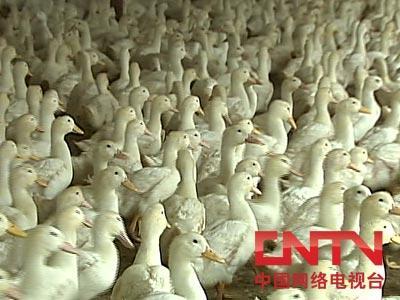 肉鸭论坛_肉鸭论坛 肉鸭养殖论坛 肉鸭行情 肉鸭网_龙太子供应网