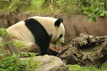 "The habitat of giant pandas was not ""shifting northward"" as some people claimed, a noted expert on giant panda conservation said Monday.(File Photo)"