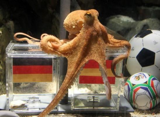 Paul, the German octopus that predicted every German World Cup match so far has picked Spain to win the upcoming semi-final.