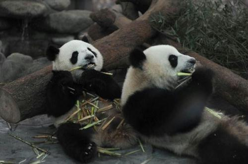 Photo taken on May 29, 2010 shows a pair of pandas at Chengdu Giant Panda Breeding and Research Base in Chengdu, southwest China's Sichuan Province.(Xinhua File Photo)