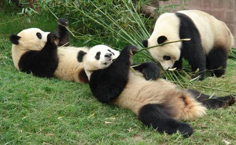 超可爱熊猫宝宝图片一组