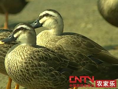 [农广天地]斑嘴野鸭养殖技术