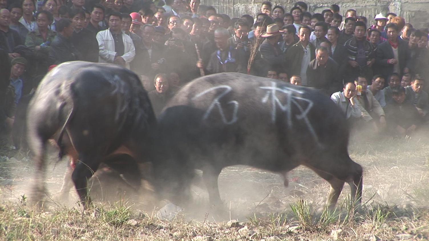 苗族斗牛比赛