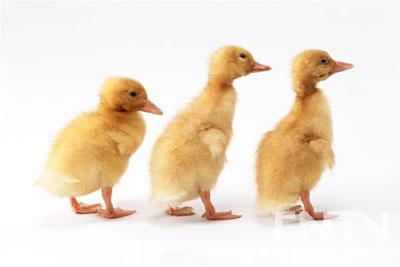 唱歌时间小鸭子