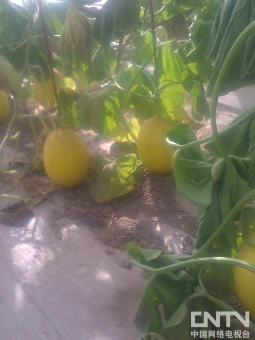 托克逊的哈密瓜