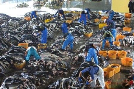 日本的大型屠鲨工厂