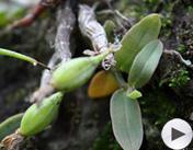 第四届魅力农产品:霍山米斛