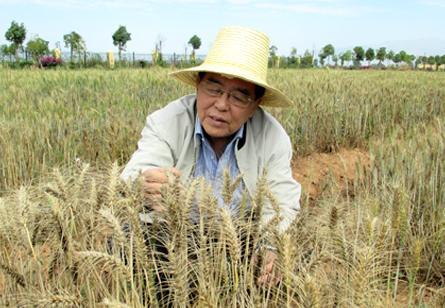 纬33度小麦育种梦