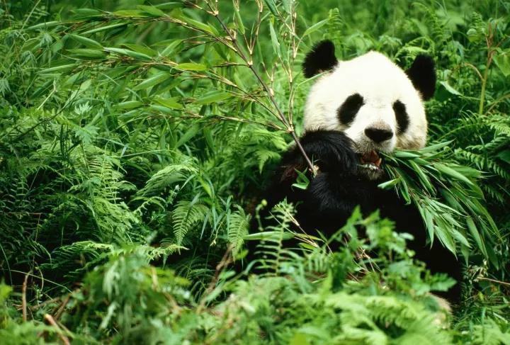 壁纸 大熊猫 动物 720_487