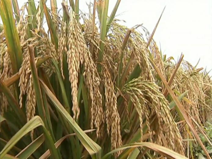 <b>2017年度国家科学技术奖励大会丨?国家自然科学奖一等奖:水稻高产优质性状形成的分子机理及品种设计</b>