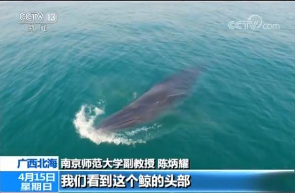 科考队进驻涠洲岛 记录到6到8头布氏鲸生活群体