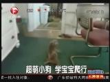 [超级新闻场]超萌小狗 学宝宝爬行