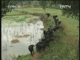 乐至黑山羊养殖技术