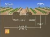 棉薯间作技术