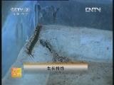 中国红头巨蜈蚣人工养殖技术