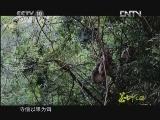 《茶叶之路》 20120713 第五集 茶树之神