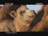 《茶叶之路》 20120920 第七十四集 戈壁牧驼人(上)
