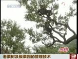老栗树及板栗园的管理技术
