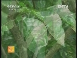 农广天地,黄皮栽培技术