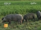 黑猪养殖农广天地,东辽黑猪养殖技术
