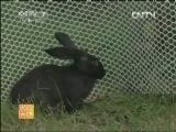 养兔技术农广天地,康大2号肉兔配套系养殖技术_致富经