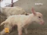 养羊科技苑,既要羊奶又要羊羔
