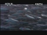 《生命》 20130615 片段 凤尾鱼