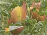 西瓜种植农广天地,如何提高大棚西瓜的甜度
