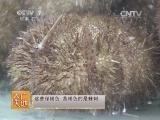 [农广天地]虾夷马粪海胆的养殖(20140511)