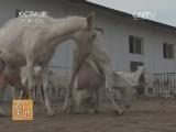 [农广天地]关中奶山羊养殖技术(20140527)