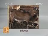[农广天地]黔北麻羊养殖技术(20140610)