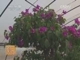 [农广天地]三角梅大棚盆栽技术(20140623)