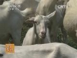 山羊养殖农广天地,陕南白山羊养殖技术(20140720)