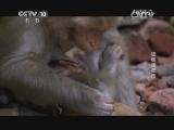 《自然传奇》 20140812 顽猴闯都市
