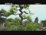 《寻找最美花园》 20140816 鲍家花园:流传千年的徽派盆景