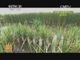 东北有了再生稻(20141030)