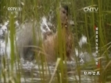 《动物世界》 20160730 捕猎者成为猎物·棕熊