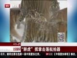 """黑龙江:奔跑吧""""胖虎""""!老虎减肥进行中"""