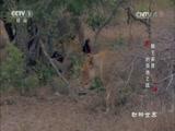 《动物世界》 20170422 狮王家族的领地之战