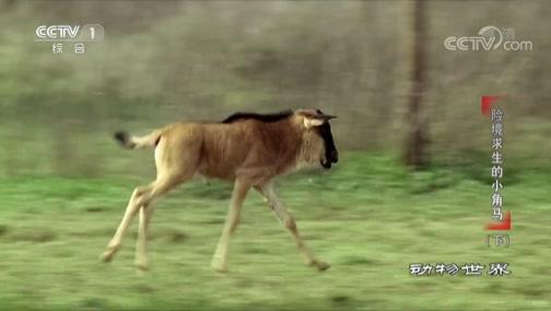 [动物世界]调皮小角马向往自由 难逃妈妈怀抱