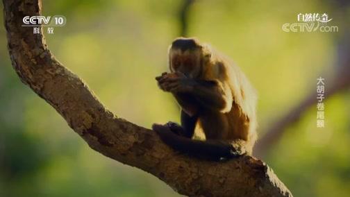 《自然传奇》 20190609 大胡子卷尾猴