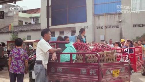 [探索发现]四川腹地里除湿驱邪的二荆条辣椒