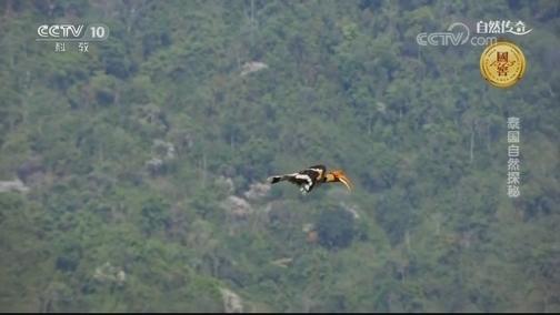 [自然传奇]鸟中绅士 雄性犀鸟每次约会都会带礼物