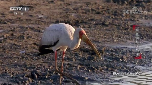 《动物世界》 20190811 鳄鱼洞与河马河