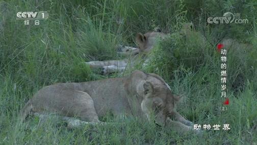 [动物世界]狮子之间的亲密互动是一种团结的方式