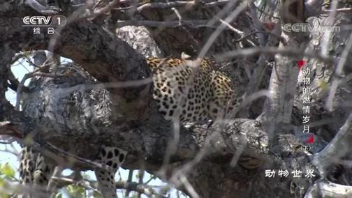 [动物世界]喜欢生活在树上的花豹