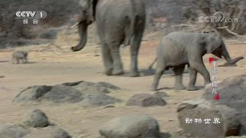《动物世界》 20190823 幸运的孤儿